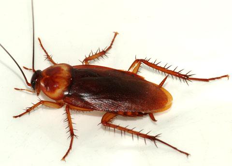cockroach-american-2