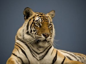 resized__tiger_julie_in_south_africa