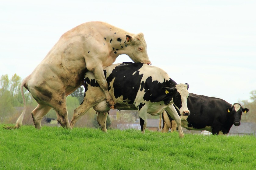 Cows Mating